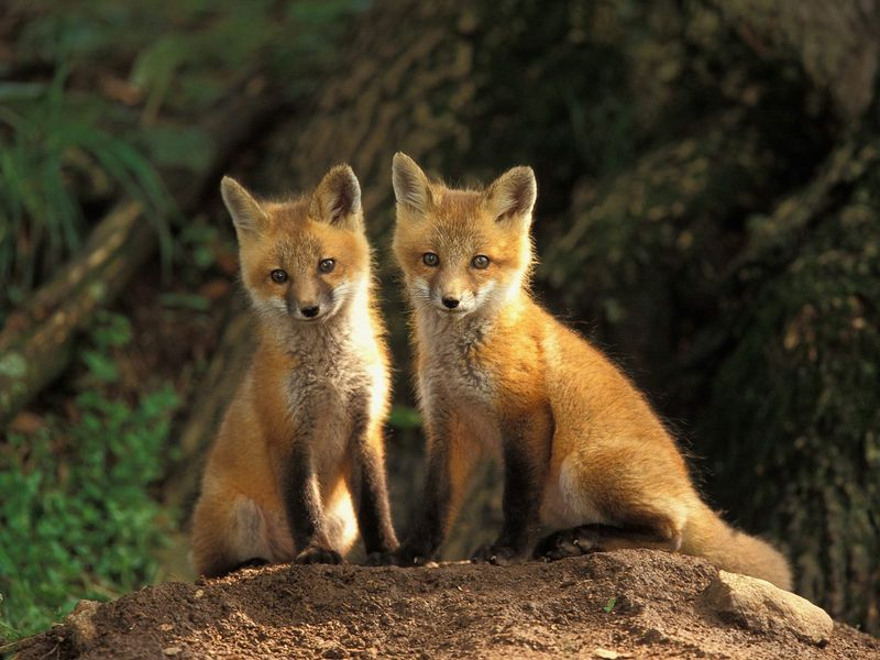 Young Red Fox Kits Louisville Kentucky