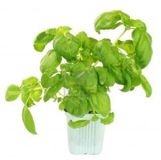 Basilplant