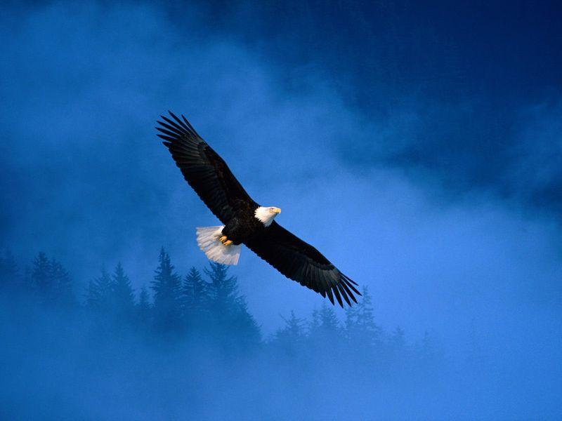 Eagle-flying-in-freedom