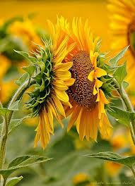 Sunflowers talking2
