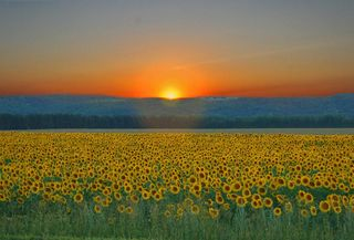 Sunrise over sunflowrs by Aaeannao Na&#