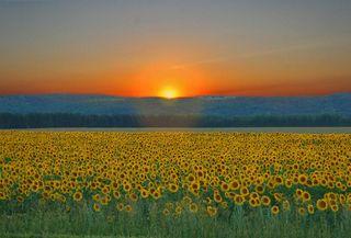 Sunrise over sunflowrs by Aaeannao Na&#
