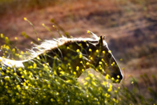Wild_horse_running_through_the_flowers-1327.jpg