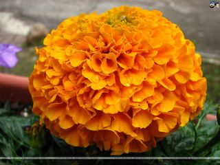 Marigolds-7h