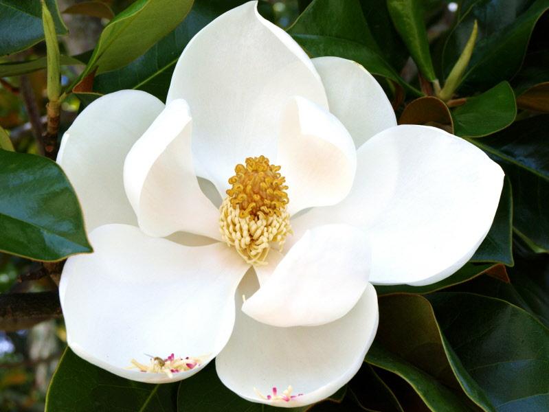 Web_magnolia_03