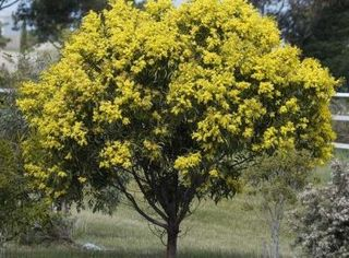 Normal_Acacia_pycnantha_tree_Calder_Highway_Sunbury_Tree_CC_small-400x295-2