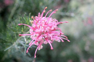 Grevillea-Pink-Pearl