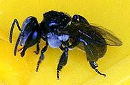 Trigona-on-feeder-5cm