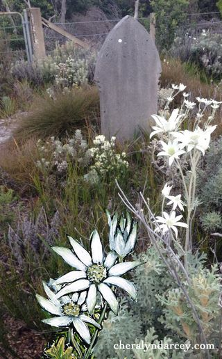 Flannel flower photo