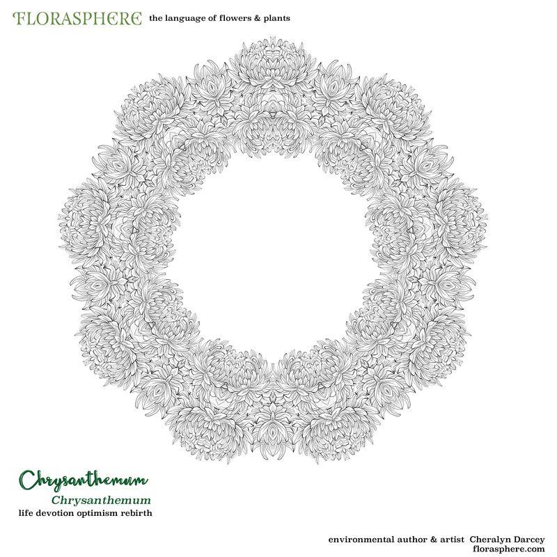 Chrysanthemum colour 2