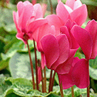 Cyclamen button