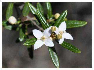 Ledifolia_white