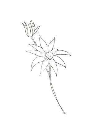 Primer flannel flower