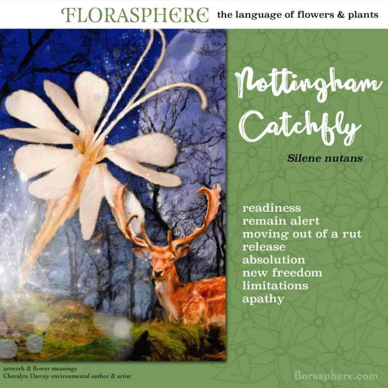 Webcards nottingham catchfly