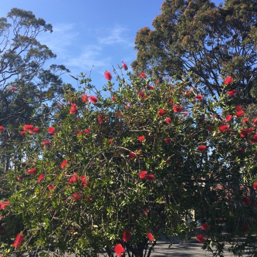 Bottlebrush photo 2