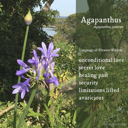 Agapanthus webcards