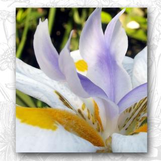 Fairy Iris button