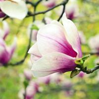 Magnolia button