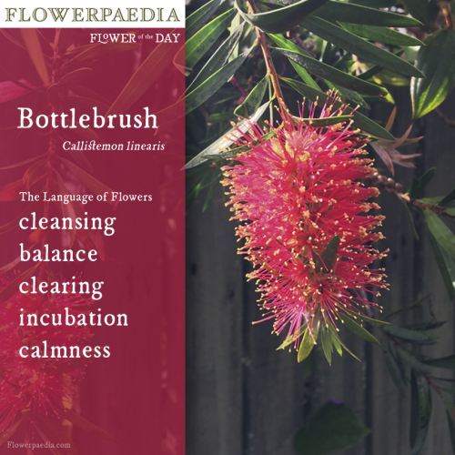 Bottlebrush Flowerpaedia WEBCARD