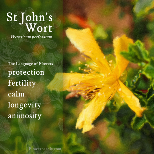 St Johns Wort WEBCARDS painting