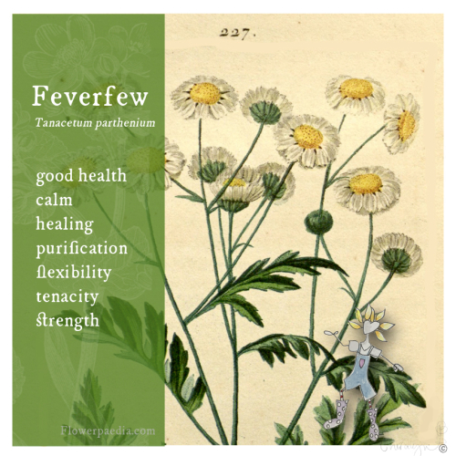 Feverfew webcards vintage flora_edited-1