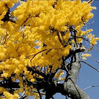 Nuytsia-floribunda