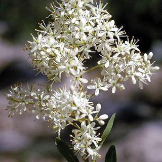 Bursaria-spinosa