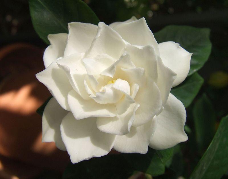 White_Gardenia_flower