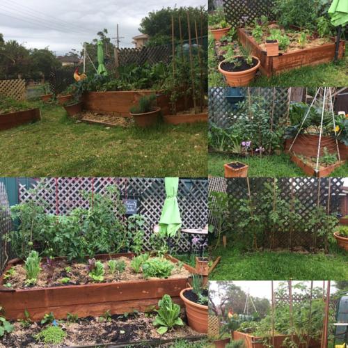 My Veggie Garden Today