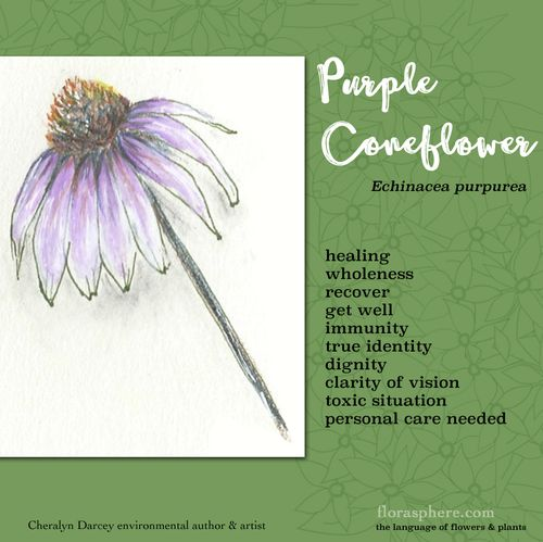Coneflower webcards new