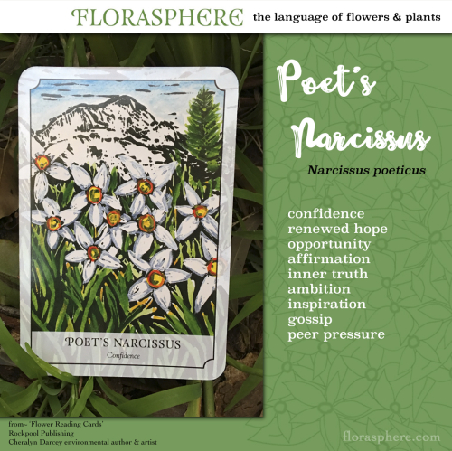 Webcard poet's narcissus