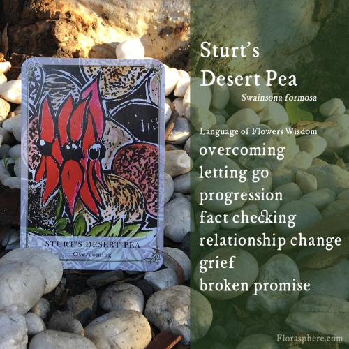 New webcards sturts desert pea