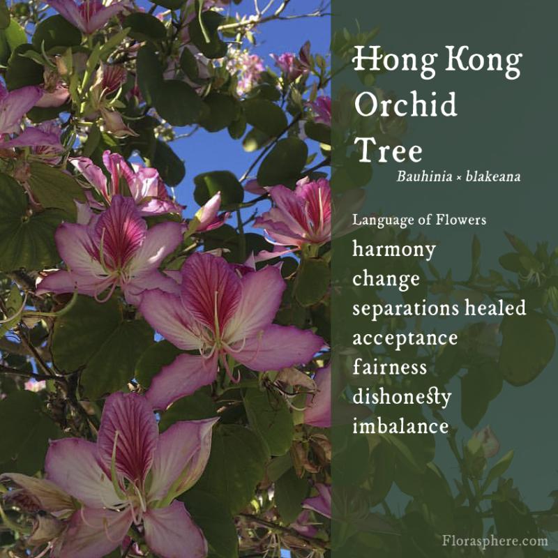 Hong kong orchid tree new photo webcards