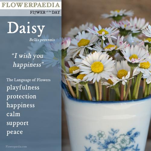 Daisy WEBCARD flowerpaedia