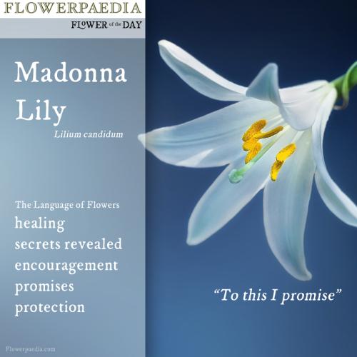Madonna lily WEBCARDS Flowerpaedia
