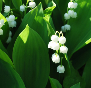 Lily of the va