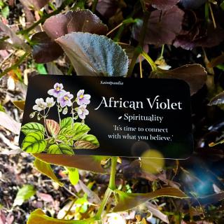 African Violet Webcards