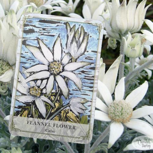 Flannel flower webcards new