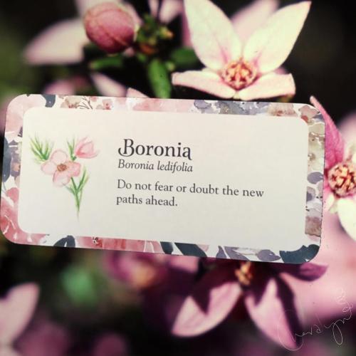 Boronia webcards new