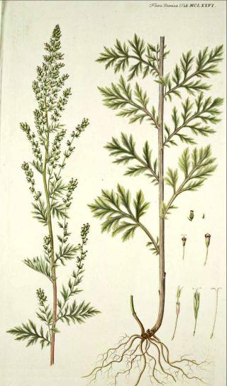 Florasphere Herb Of The Week Mugwort Artemisia Vulgaris