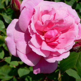 Cecil Brunner Rose
