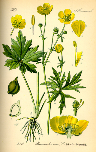 Illustration_Ranunculus_acris0