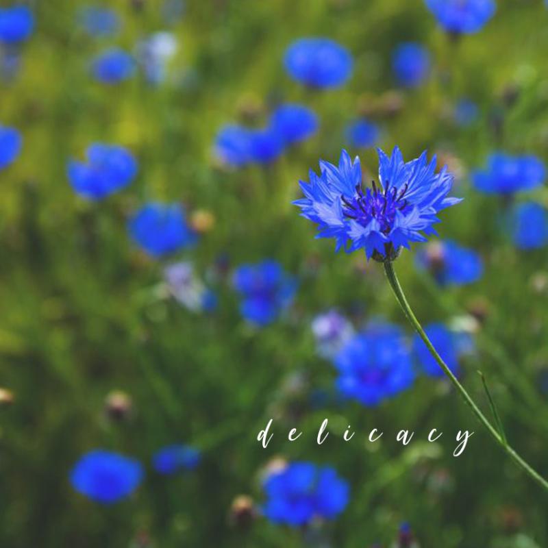 Cornflower webcards