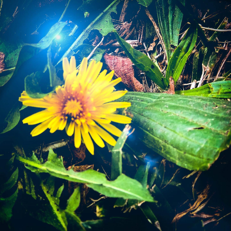 Dandelion flower day