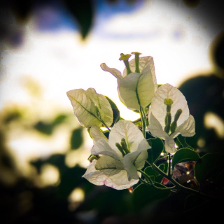 White boganvilliea