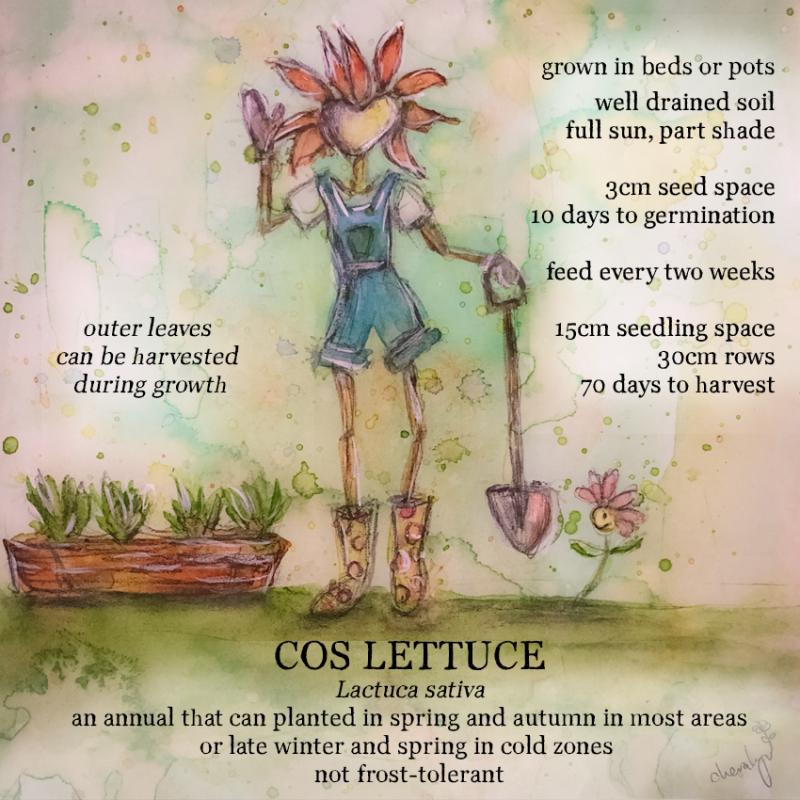Flora Cos Lettuce